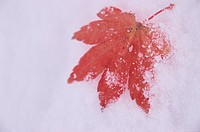 Red Maple Leaf On Snow