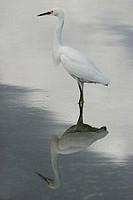 Snowy egret Egretta thula standing in a river, Florida, USA