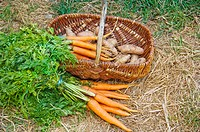 Carrots and a basket