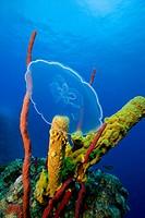 Moon jellyfish near coral reef.