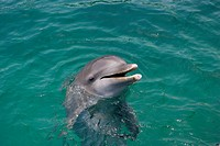 Atlantic bottlenose dolphin.