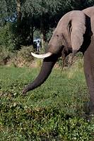 Tourist observes elephant.