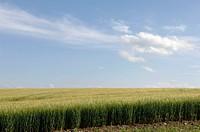 Barley hordeum field