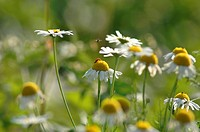 Camomile flowers, close up