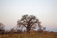 Africa, Sambia, Baobab Tree and Thatched huts
