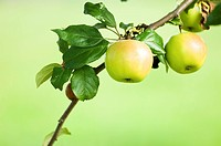 Apples growing on branch of tree, close_up