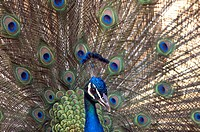 Blue peacock, Indian Peafowl, Spreading, teal, Pav