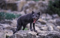 Arctic Fox, Sweden, summer, Alopex lagopus, animal