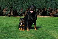 Dog, Rottweiler, Puppy, breed, outside, outdoors,