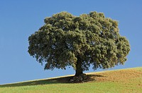 Spain, Andalucia, Single Ilex tree Quercus ilex
