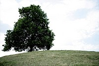 tree, hill, nature, solitary, single tree, trees