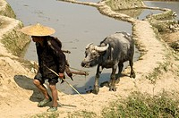 Hani farmer and his water buffalo in rural Yunnan China