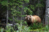 Grizzlybär / Grizzly Bear / Ursus artos horribilis / Kluane-Nationalpark, Kluane National Park and Reserve, Kanada, Canada, USA