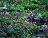 Anemone japonica, Yoshimine temple, Honbou garden, Kyoto, Nishiyama, Kyoto, Kinki, Japan, October