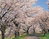 Showplace best 100, Un´nan, Shimane, Japan of Hiikawa River embankment, row of cherry blossoms, cherry blossoms