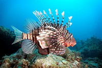 Lion Fish on Mikanda Reef, Zanzibar