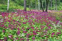 Primula japonica, 48 waterfalls Yamano flowering plant garden, Takayama, Gifu, Japan