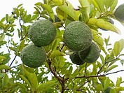 Scientific Name: Citrus aurantium Linn, Sour Orange, Idlimbu