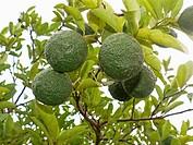 Scientific Name: Citrus aurantium Linn, Sour Orange, Idlimbu