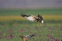 Western Marsh Harrier hunting duck, Circus aeruginosus