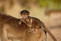 Infant Chacma baboon Papio ursinus riding its mother´s back, Kruger National Park, South Africa, Africa