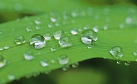 Water drops on a Crocosmia leaf