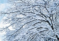 Bare tree covered in snow
