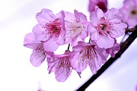 Cherry blossom Prunus sp. flowers, close_up