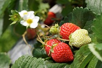 Ripe and ripening strawberries