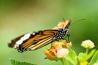 Monarch butterfly on flower, close_up