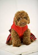 Portrait of Toy Poodle wearing cloth sitting