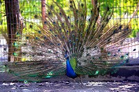 Peacock displaying tail feathers, full frame