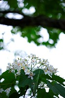 White flowers with leaves, low angle view
