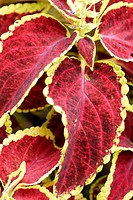 Red Coleus trimmed in green, elevated view