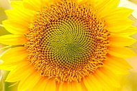 Sunflower, close_up