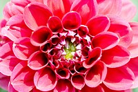 Close up of red dahlias