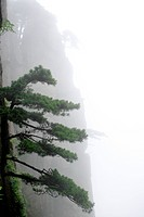 China, Anhui, Mt. Huangshan, Pine tree growing on steep mountainside