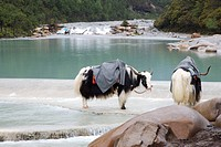 Two water buffaloes standing in stream