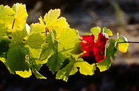 Grape leaves turning color on the vine at SANTA CRUZ MOUNTAIN VINEYARDS _ SANTA CRUZ, CALIFORNIA