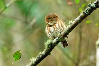 Owl perching on tree branch, front view