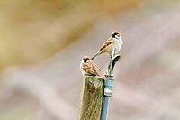 Two eurasian tree sparrows perching back to back on top of stump, side view