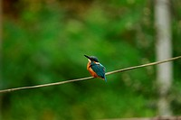 Common kingfisher on twig, side view