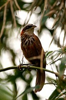 Streak_breasted scimitar_babbler perching on branch, front view