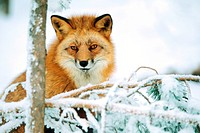 Rotfuchs im Winter,Red Fox in Winter