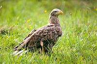 Seeadler _ White_tailed Eagle _Deutschland