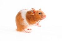 Goldhamster _ Golden Hamster