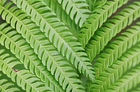 Close_up of green fern leaves, full frame