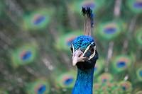 Pfau _ Peacock