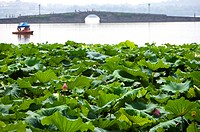 The green lily pad in West Lake, Hangzhou, Zhejiang Province