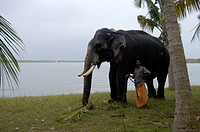 ELEPHANT NEAR BACKWATER LAKE IN MUHAMMA